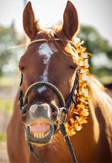 flehmen-cheval