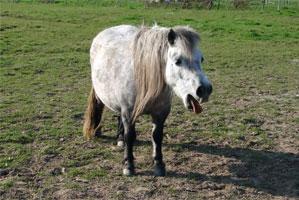 pneumonie chez le cheval