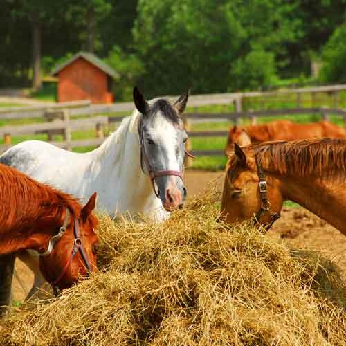 amaigrissement chez le cheval