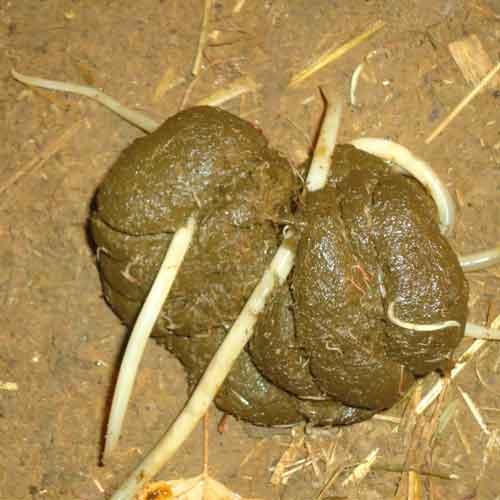 parasites-cheval