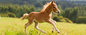 poulain cheval