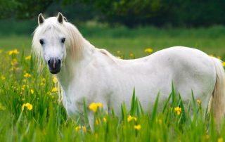 cheval allergie