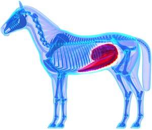 Cæcum cheval