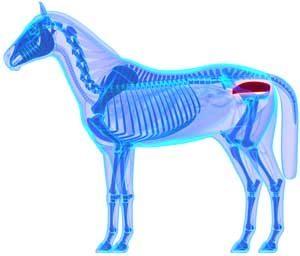 Rectum du cheval