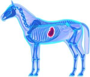 estomac cheval