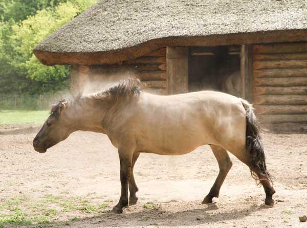cheval emphysemateux