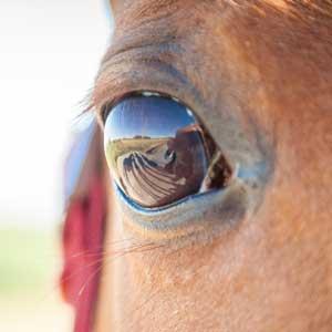 Leptospirose chez le cheval