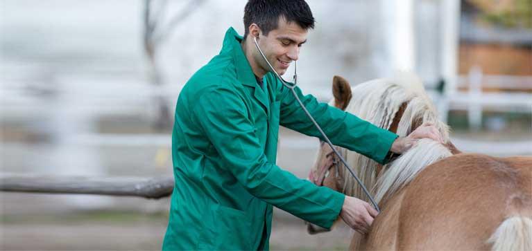 pleuresie cheval
