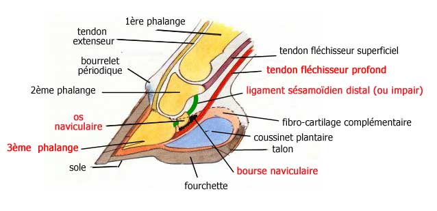 anatomie pied cheval