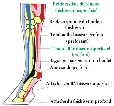 schema-tendons-anterieur-cheval