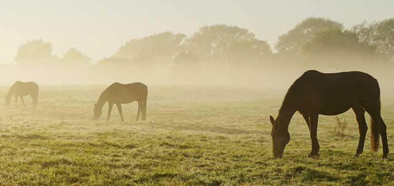 myopathie atypique du cheval