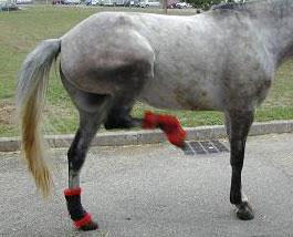 Harper australien cheval
