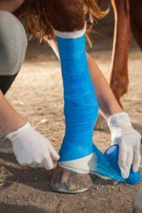 bandage plaie cheval