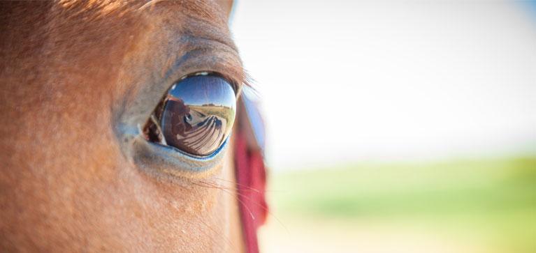 uveite chez le cheval
