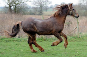 cheval âgé