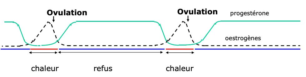cycle ovarien jument