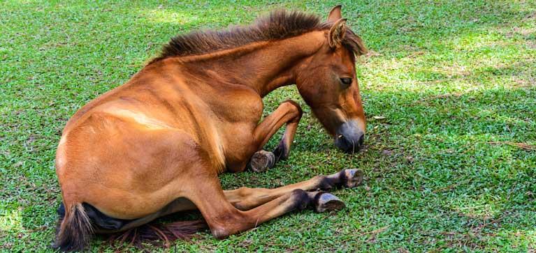 cheval est couché