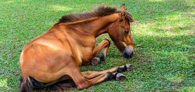 mon cheval est couche