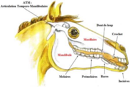 anatomie bouche cheval