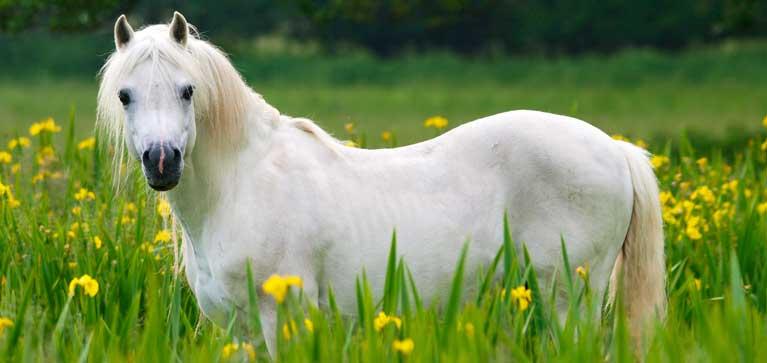 plantes toxiques chez le cheval