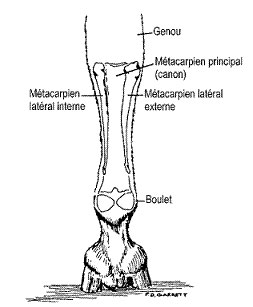 anatomie-metacarpe-cheval