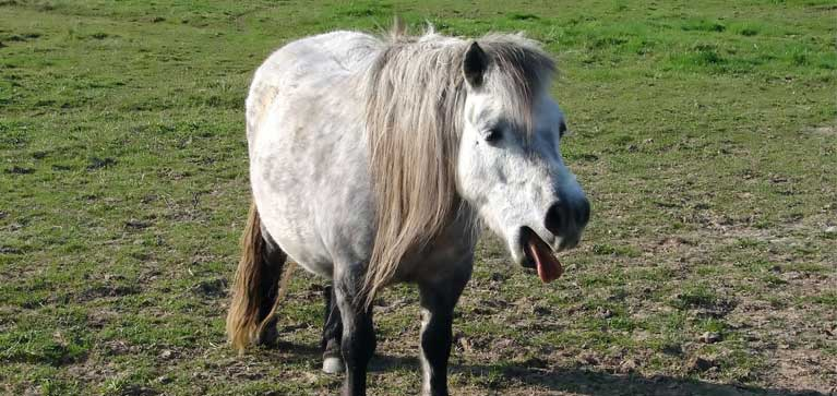 pneumonie-cheval