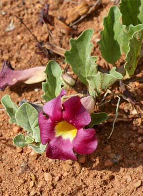 plante-harpagophytum