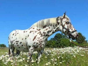 Appaloosa-cheval