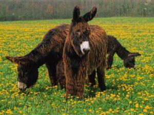 cheval Baudet du Poitou