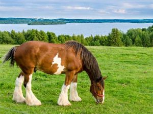 cheval Clydesdale