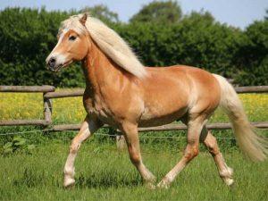 cheval Haflinger