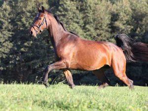 cheval Holsteiner