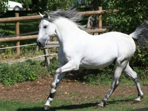 cheval Lusitanien