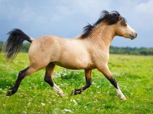cheval Poney Welsh