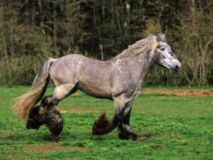 cheval Trait Poitevin Mulassier