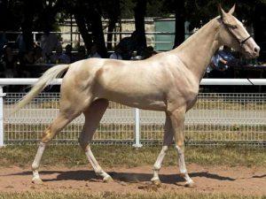 cheval Akhal-Téké