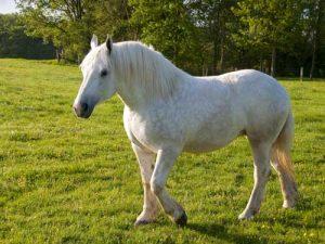 cheval Boulonnais