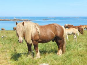 cheval Cheval Breton