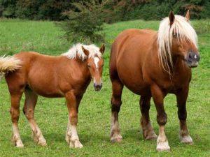 cheval Comtois