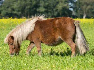 cheval Shetland