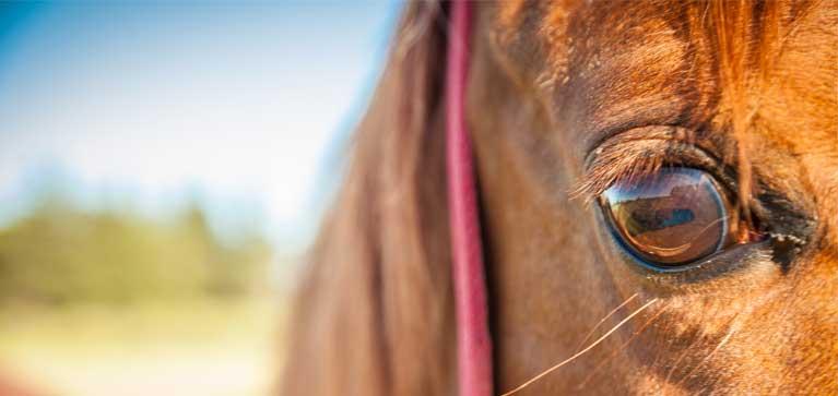 probleme-oeil-cheval