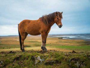 cheval Cheval islandais