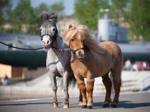 cheval Falabella