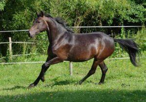 cheval Poney français de selle