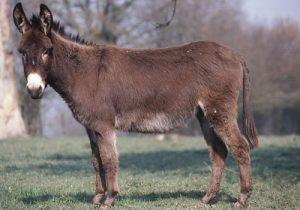 cheval Âne normand