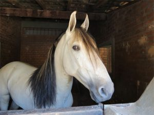 cheval Campolina