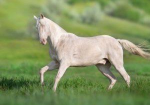 cheval-Akhal-Teke