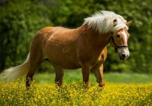 cheval-Haflinger