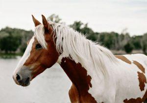cheval-Paint-Horse
