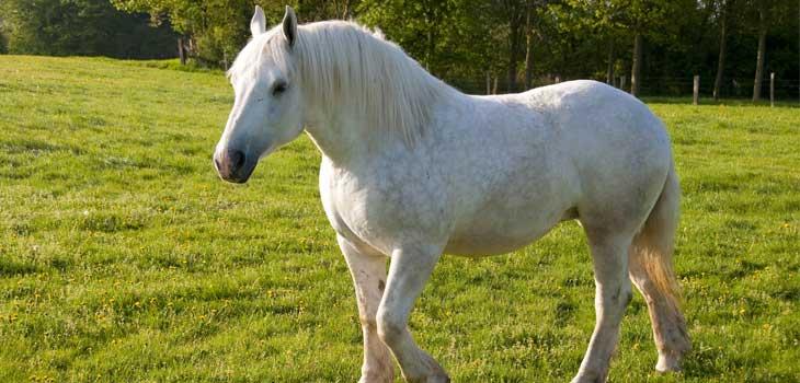 cheval-boulonnais